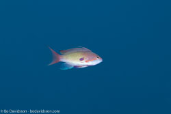 BD-131207-Marsa-Alam-0854-Pseudanthias-squamipinnis-(Peters.-1855)-[Sea-goldie].jpg